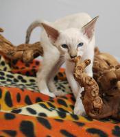 Foto 6 Siamesen / Seychellois und Orientalisch Kurzhaar Kitten