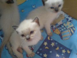 Foto 2 Siamkatzen