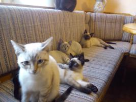 Siamkatzen zu verkaufen