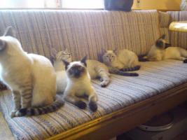 Foto 2 Siamkatzen zu verkaufen