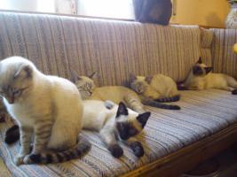 Foto 3 Siamkatzen zu verkaufen