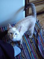 Foto 4 Siamkatzen zu verkaufen
