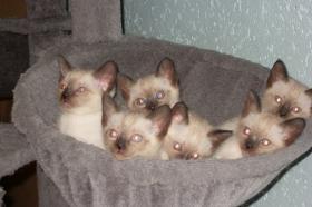 Siamkatzen   Babys
