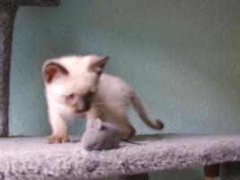 Foto 2 Siamkatzen   Babys