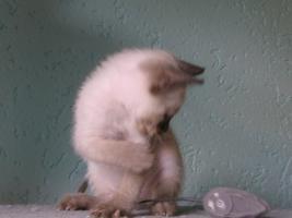 Foto 3 Siamkatzen   Babys