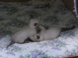 Foto 4 Siamkatzen   Babys