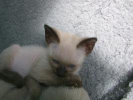 Foto 5 Siamkatzen   Babys