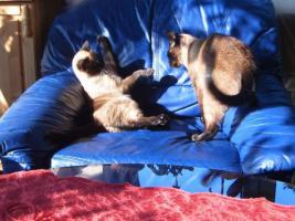 Siamkatzenpärchen