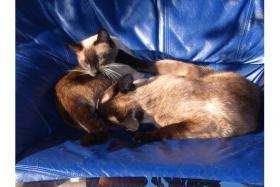 Foto 3 Siamkatzenp�rchen