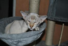 Foto 3 Siamktze auf der suche nach einem neuem zu Hause