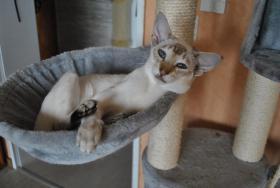 Foto 4 Siamktze auf der suche nach einem neuem zu Hause
