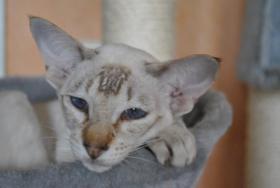 Foto 5 Siamktze auf der suche nach einem neuem zu Hause