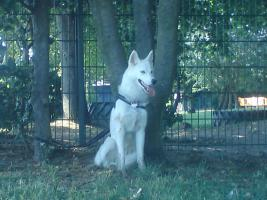 Foto 2 Siberian Husky