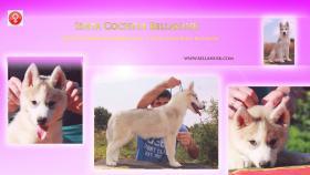 Siberian Husky Baby Hündin zu verkaufen