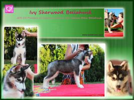 Siberian Husky Dame zum verkaufen
