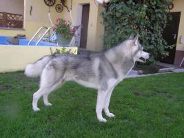 Foto 3 Siberian Husky Deckrüden (Keine Verkaufsanzeige)