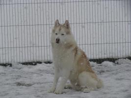 Siberian Husky R�de in liebevolle H�nde abzugeben