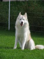 Foto 2 Siberian Husky R�de in liebevolle H�nde abzugeben