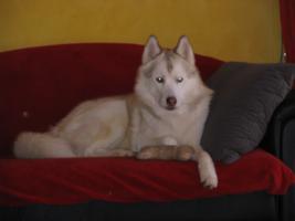 Foto 3 Siberian Husky R�de in liebevolle H�nde abzugeben