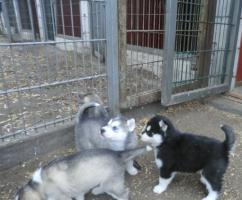 Foto 3 Siberian Husky Welpe