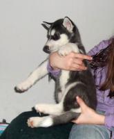 Siberian Husky Welpe Huskywelpe, HÜNDIN