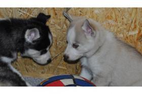 Foto 2 Siberian Husky Welpen