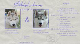 Siberian Husky Welpen mit FCI Papieren