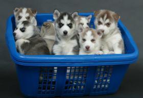 Siberian Husky Welpen Sibirische Huskywelpen FCI!!