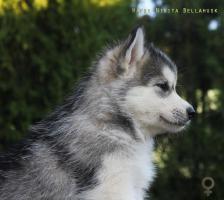 Foto 3 Siberian Husky Welpen aus TOP Verpaarung