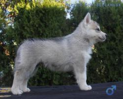 Foto 5 Siberian Husky Welpen aus TOP Verpaarung
