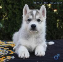 Foto 6 Siberian Husky Welpen aus TOP Verpaarung