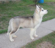 Foto 2 Siberian Husky Welpen aus TOP Verpaarung