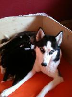 Foto 3 Siberian Husky Welpen geb. am 31.12.2009