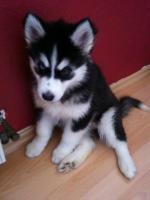 Foto 4 Siberian Husky Welpen geb. am 31.12.2009