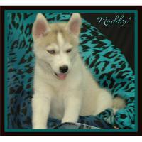Foto 2 Siberian Husky Welpen zu verkaufen!