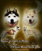Foto 6 Siberian Husky Welpen zu verkaufen