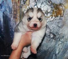 Siberian Husky Welpen zu verkaufen