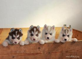 Foto 2 Siberian Husky Welpen zu verkaufen