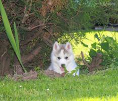 Foto 7 Siberian Husky Welpen zu verkaufen