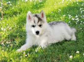 Foto 4 Siberian Husky Welpen zu verkaufen
