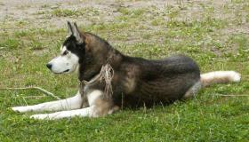 Siberian Husky abzugeben