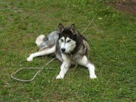 Foto 2 Siberian Husky abzugeben