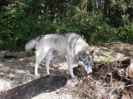 Siberian Husky weibchen 1 Jahr kastriert (Zubehör)