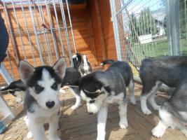 Foto 3 Sibirian Husky