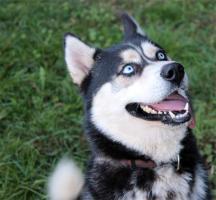 Sibirien Husky Rüden mit Blauen Augen