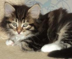 Sibirientaigas-19 Jahre Sibirische Katzen