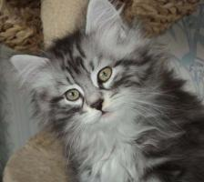 Foto 3 Sibirientaigas-19 Jahre Sibirische Katzen