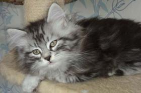 Foto 4 Sibirientaigas-19 Jahre Sibirische Katzen