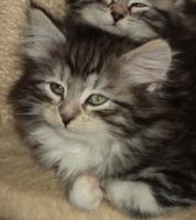 Foto 5 Sibirientaigas-19 Jahre Sibirische Katzen