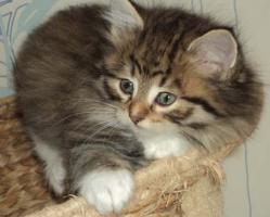 Foto 6 Sibirientaigas-19 Jahre Sibirische Katzen